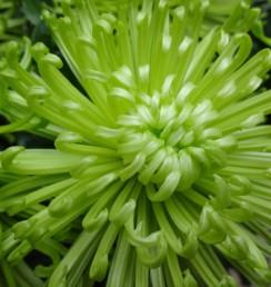菊 アナスタシアグリーン